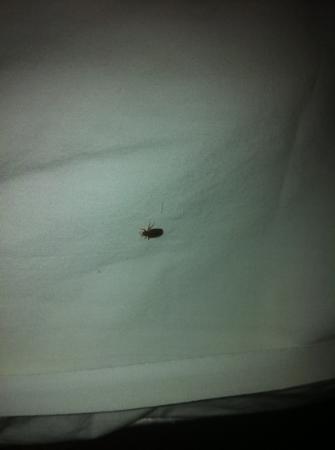 Quality Inn: Bedbug