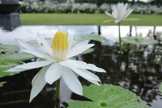 Anantara Chiang Mai Resort: lotus pool surrounding the swimming pool
