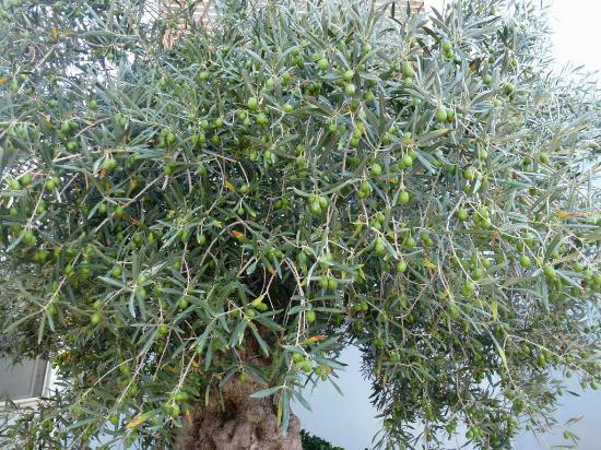 Hotel Borgo del Mare: El olivo