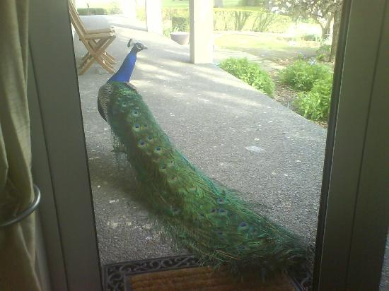 ‪‪Silverstream Lodge‬: Gorgeous Peacock outside or room.