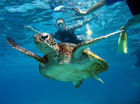 Ningaloo Kayak Adventures: Come swim with our Amazing Green Turtles