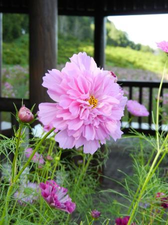 Engaru sun hills park: 八重咲きコスモス