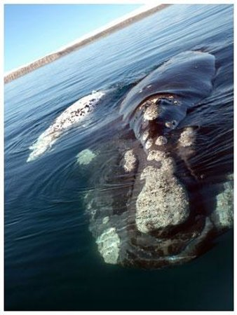 Hermanus, Güney Afrika: Southern Right Whale male