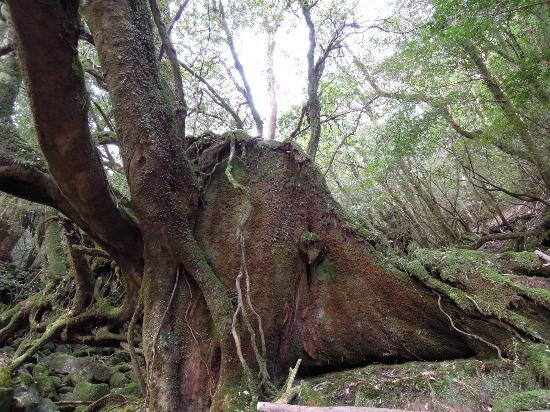 白谷雲水峡: fotografía de Shiratani Unsuikyo Valley, Kumage-gun Yakushima-cho - Tr...