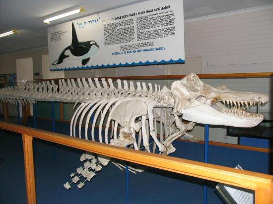 Killer Whale Museum: Old Tom, The Killer Whale Helper