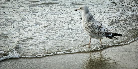 Polzeath Beach: Greedy seagulls.