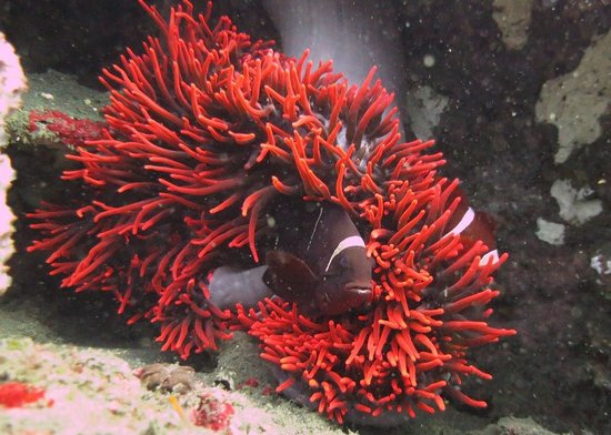 Tulamben, Indonesia: Red anemone