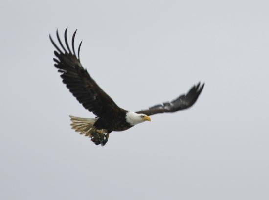 Alaska Fly N Fish Charters : a bald eagle