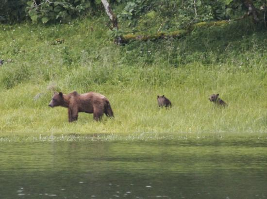 Alaska Fly N Fish Charters : a mamma bear and her two cubs