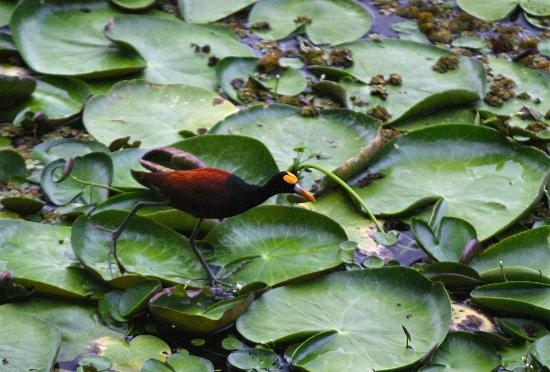 Jicaro Island Ecolodge Granada: Northern Jacana close to our casita