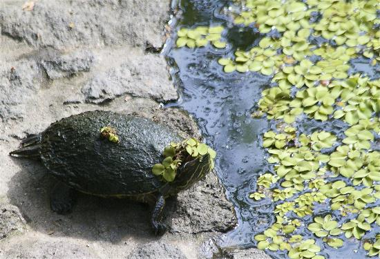 Jicaro Island Ecolodge Granada : turtle hanging out by the cenote