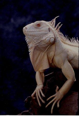 Serpent Safari: Albino Iguana