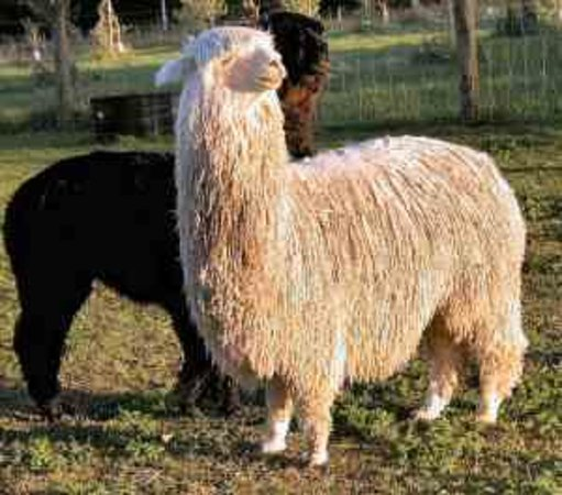 Suncrest Orchard Alpacas-billede