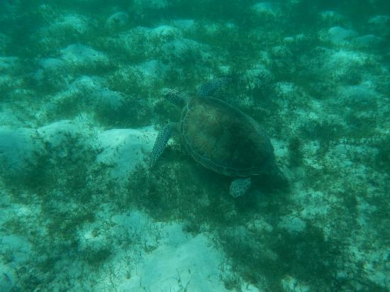 Simply Carriacou Island Tours: Turtle spotting