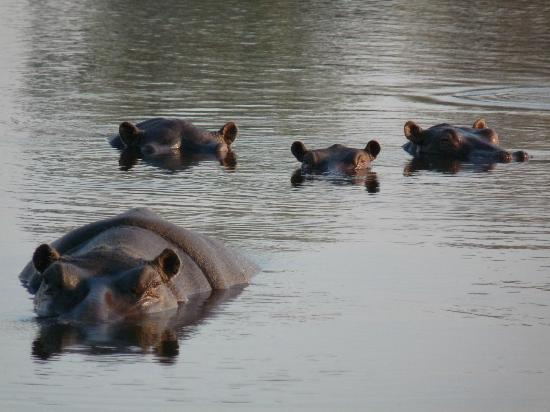‪‪Wilderness Safaris Kings Pool Camp‬: Hippos‬