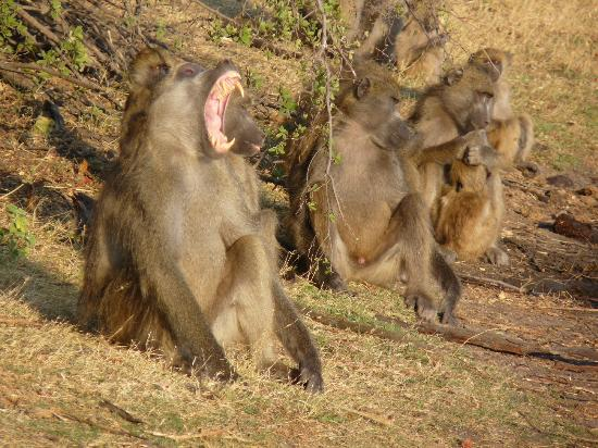 ‪‪Wilderness Safaris Kings Pool Camp‬: Baboons‬