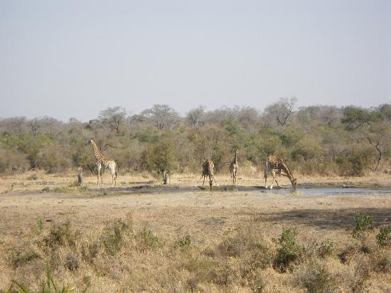 Simbambili Game Lodge: Giraffes in for a drink.