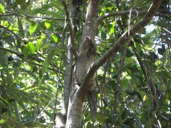 Kingfisher Park Birdwatchers Lodge : A rare Papuan Frogmouth found on grounds with help from the proprietors.