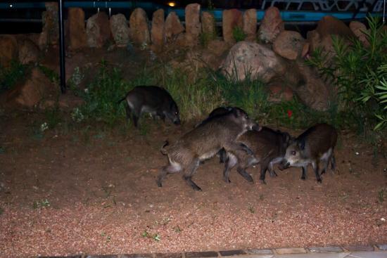 Resort Gravina - Costa Paradiso: cinghiali in libertà nel patio dell'appartamento