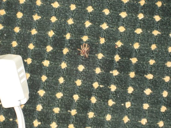 Days Inn & Suites Murfreesboro: Carpet with spider