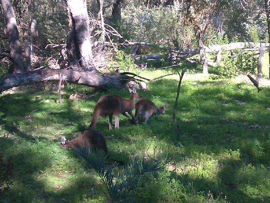 Yanchep National Park: Kangaroos