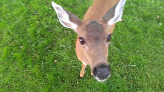 Rosario Resort and Spa : The deer are very friendly