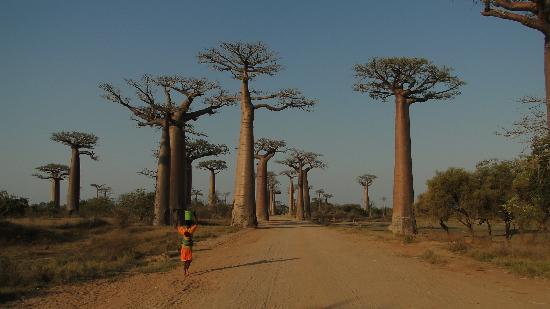 Baobab Avenue Morondava Madagascar