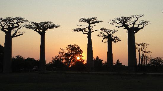Avenue of the Baobabs: sunset at Baobab Avenue