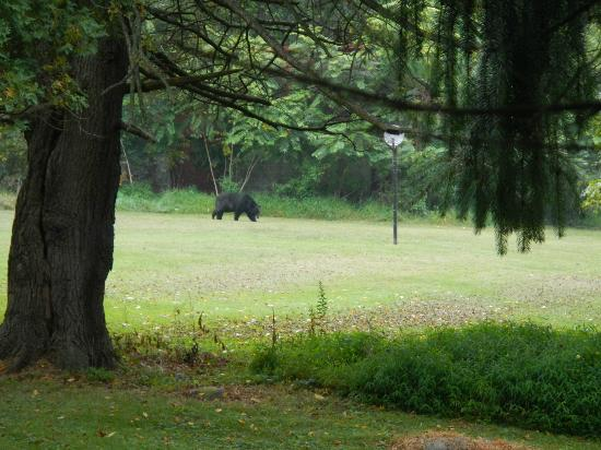 ‪‪Camp Taylor‬: Black Bear (as seen from the main road to campground)‬