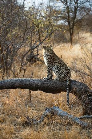 Tanda Tula Safari Camp: Lovely leopard (Nthombi)