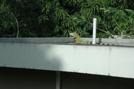 Casa de Tortuga: Resident iguana