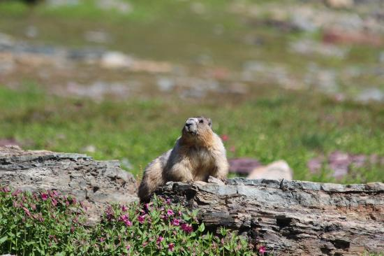 Hidden Lake: marmot