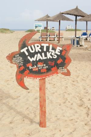 Santa Maria, Cape Verde: Turtle Walks