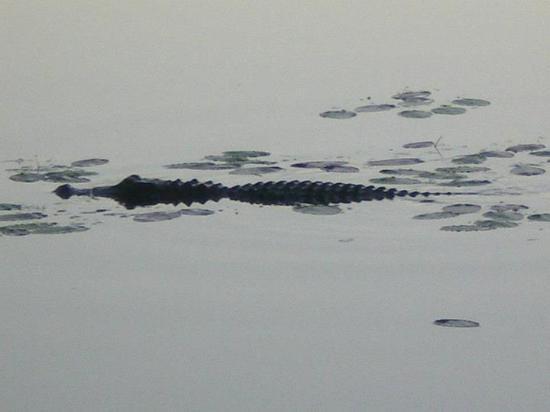 Marriott's Cypress Harbour: gator at resort