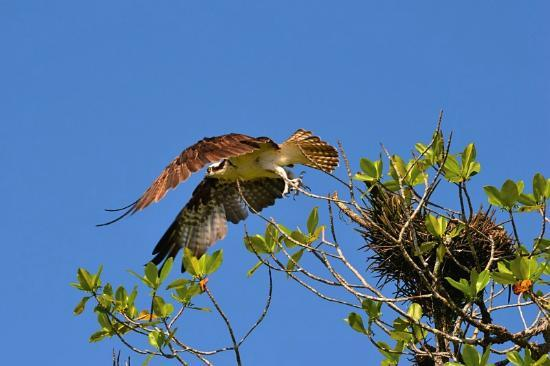 Saladero Eco Lodge: Osprey at the Rio Esquinas
