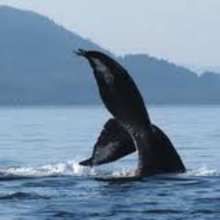 Saladero Eco Lodge: Humpback whales nurse their calves in the Golfo Dulce in September