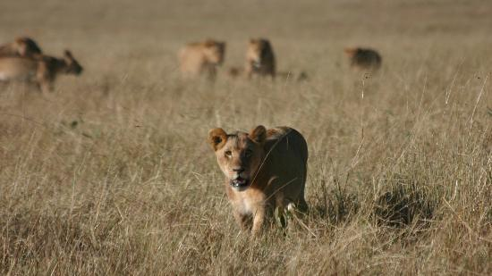 Mara Explorer Camp: Lions on the move...
