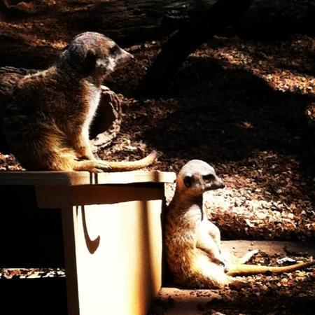 Zoo Knoxville: meerkats