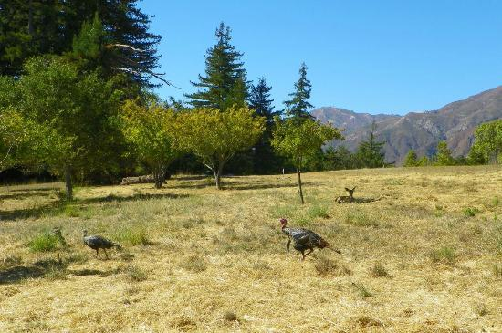 Post Ranch Inn: can you spot the deer in between the wild turkeys?