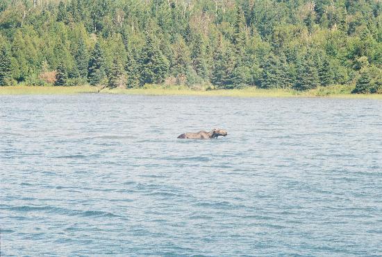 Rock Harbor: Moose in Isle Royale National Park - Michigan