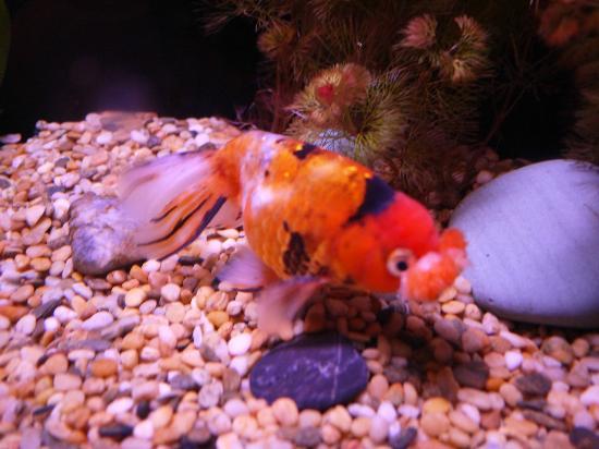 Cute goldfish foto di ocean park hong kong tripadvisor for Koi pond traduzione
