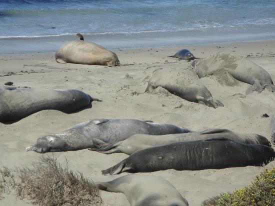 Blue Dolphin Inn: elephant seals on the beach in San Simeon (20 minute drive north)