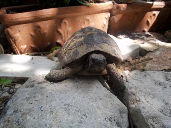 B&B Il Giardino Dei Sospiri: one of the turtoises in the garden