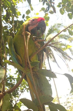Posada Andrea Cristina: Paolo - the great green macaw eating Titor
