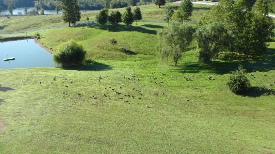 Whitestone Country Inn: Geese! 