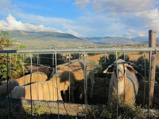 Agriturismo i Mille Ulivi : Le pecore