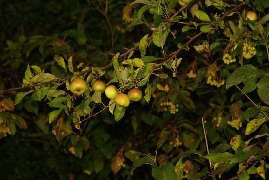 Rotary Park: Wild Apple trees