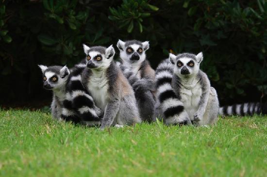 Parco Zoo Punta Verde : Lemuri catta