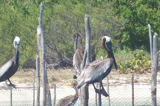 Sian Ka'an Biosphere Reserve: Pelicans :-)
