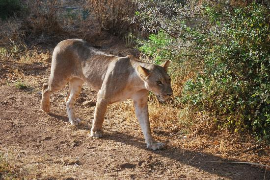 Samburu Intrepids Luxury Tented Camp: Our first big cat - she needs a meal!